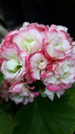 Пеларгонія  Apple Blossom Rosebud