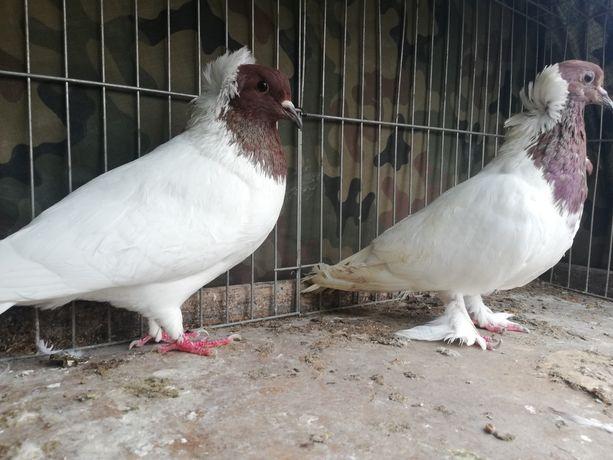 Gołębie zakonniki angielskie samice