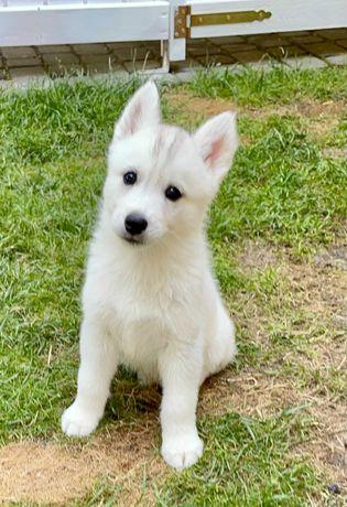 Siberian Husky  ZKwP/FCI-ostatni wolny pies ,do odbioru od 24.06!