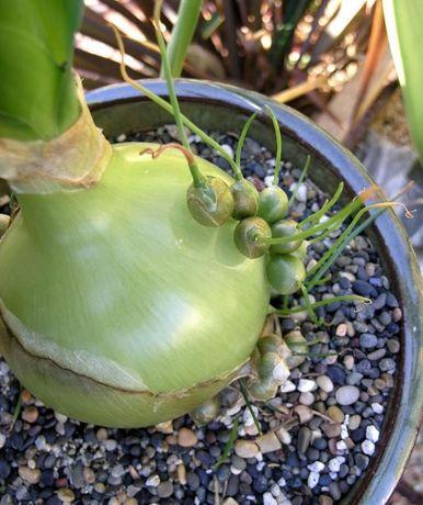 Sementes da Planta Suculenta Albuca bracteata