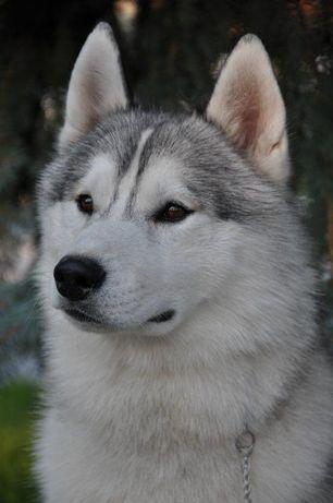 Вязка Сибирский Хаски.