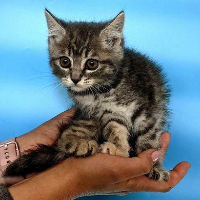 Котенок Лола ищет своего человека котенок котята кошеня кот кошка