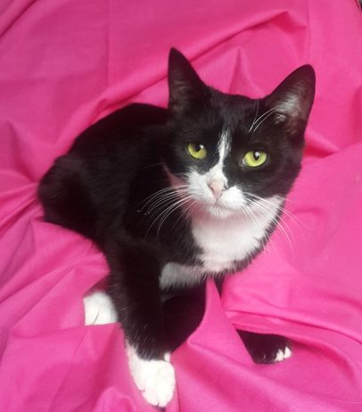 Гладкошерстная кошка, окрас черный и немного белого, возраст 1 год