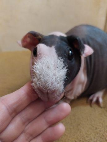 świnka skinny samiczka