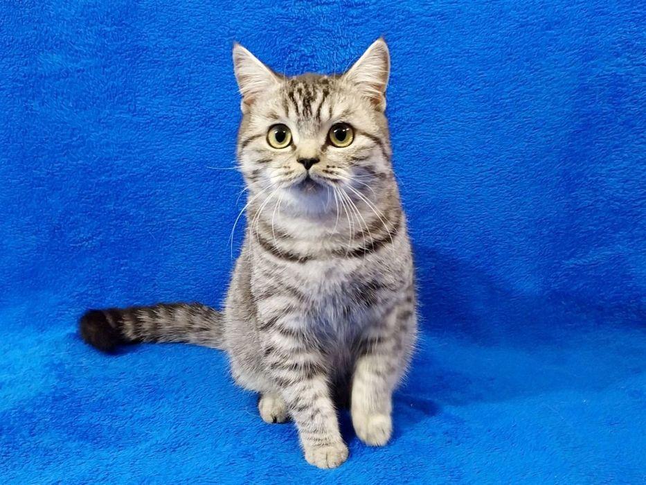 Шотландский котик - мега ласковый которебёнок! Одесса - изображение 1