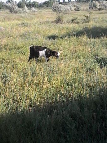Продам рогату козу