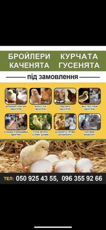 Продам цыплята бройлера Кобб500 мастер грей,редбро,фокси чик(венгерия)