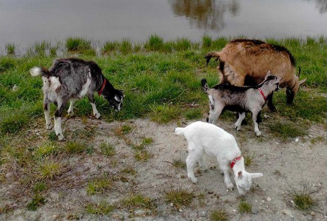 Sprzedam kozę mleczną i koziołka