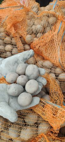 ziemniaki sadzeniaki Vineta