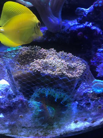 Ricordea yuma pomarańczowa koralowiec miękki akwarium morskie
