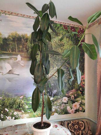 Продам фикус 1,5 м высотой, 50 листьев