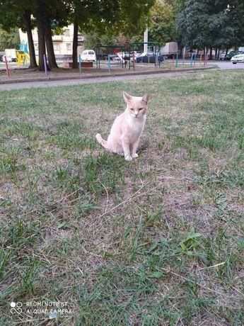 Отдам персиковую кошку, 2 года, стерилизована