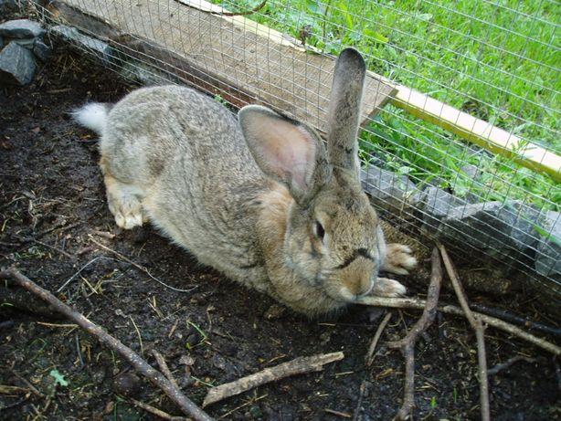 продам кролик попрода фландер.