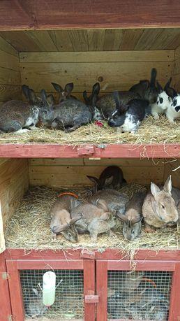 Młode króliki mix belgi srokacze nowozelandzkie