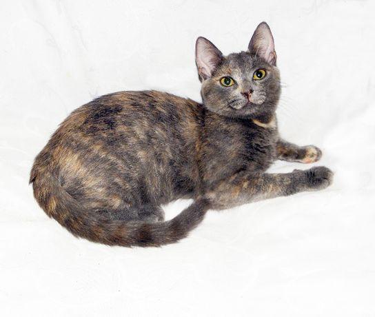 Метис русской/британской голубой кошки; кошечка Ванда