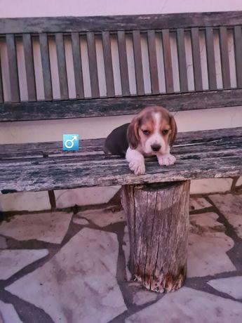 Beagle  lindíssimo