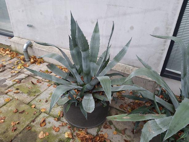 Agawa, agawy w donicy