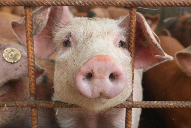 Продам домашню свинину