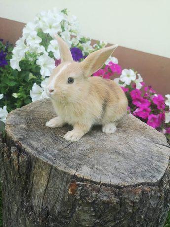 Niebieskooki karzełek gładkowłosy królik miniaturka króliki mini