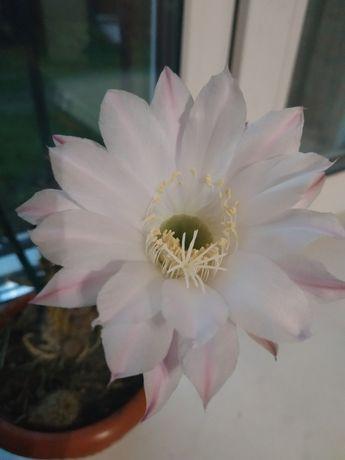 Продам кактуси гарні