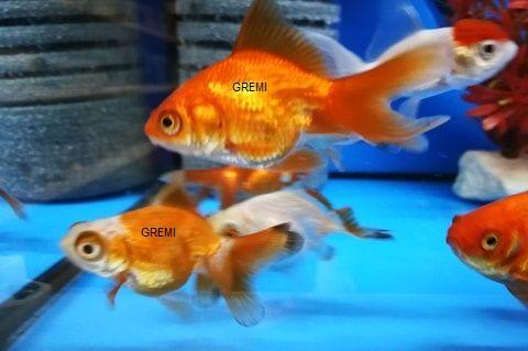 Welon złota rybka ryby akwariowe GREMI Białystok