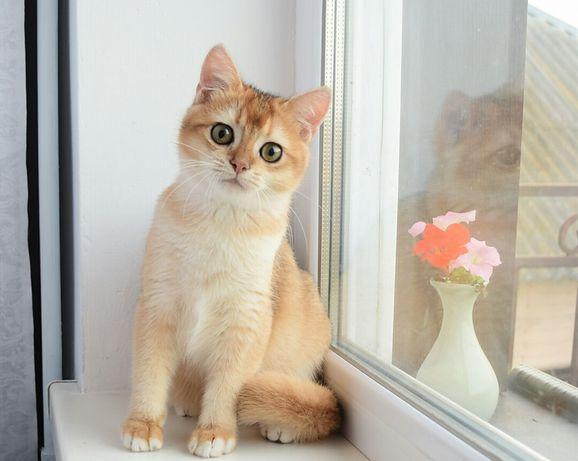 Британский золотой котенок