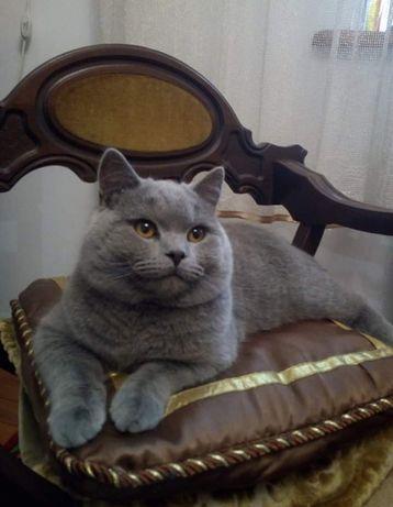 Шотландський  котик В'язка