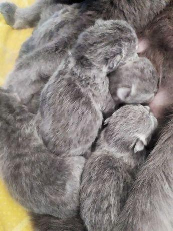 Kocięta brytyjskie niebieskie- wolne
