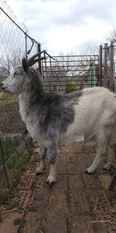 Дойные козы,козлята.