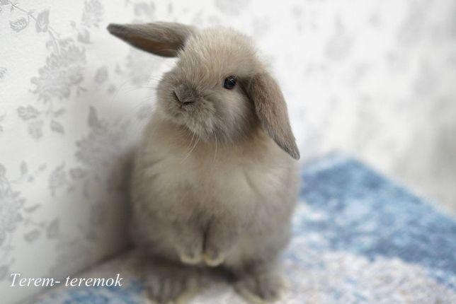 Карликовый крольчёнок , самая маленькая порода вислоухих кроликов!