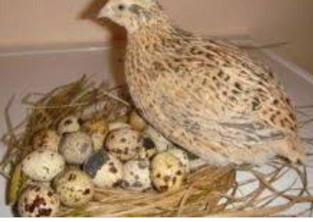 Яйця свіжі перепелині