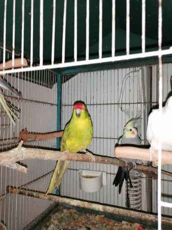 Aves manças criadas a mão