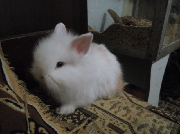 декоративные кролики и свинки
