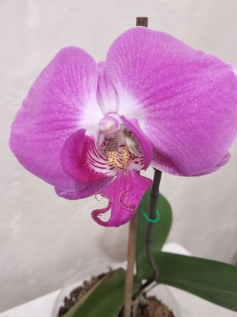 Орхидея Продам орхидею