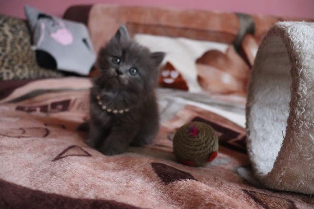 Терміново продам кошенятко дівчинку