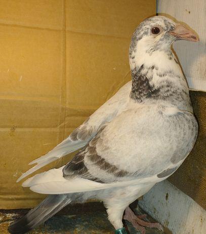 Gołębie staropolskie młodzik