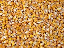 śrut kukurydza pszenżyto owies