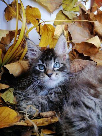 Котёнок Мейн Кун, Maine Coon