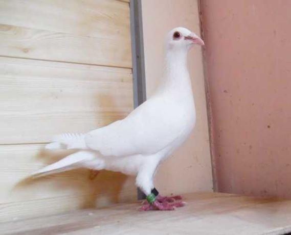 Gołębie Pocztowe! Klasa Ptak! Śnieżnobiały Lotnik! Ciemne Oczy! Śląsk