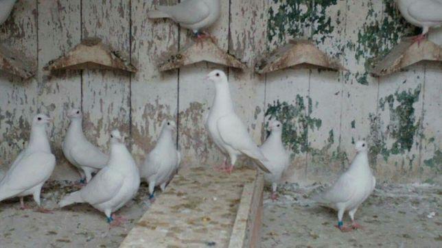 Gołębie pocztowe białe zaobrączkowane