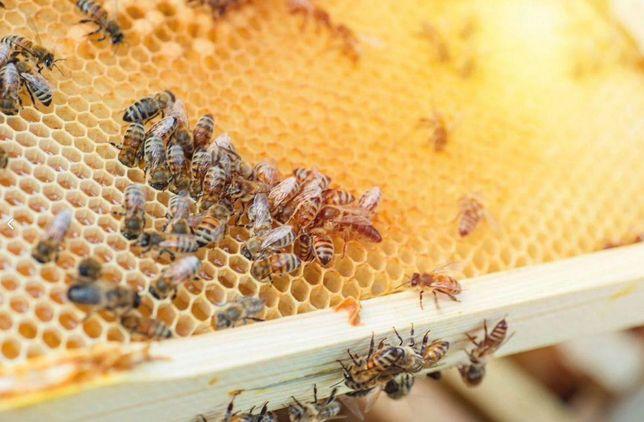 Пчеломатки Buckfast Австрия Меченные f1 2021 года Отправим
