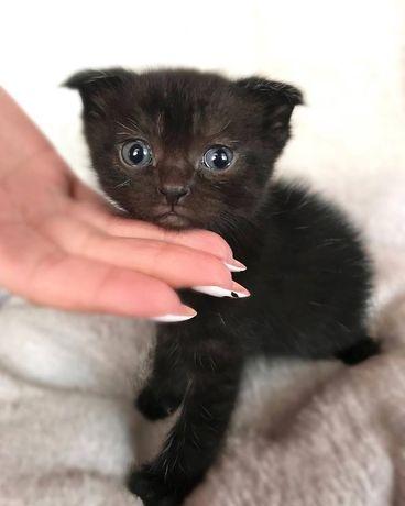Черный вислоухий котенок
