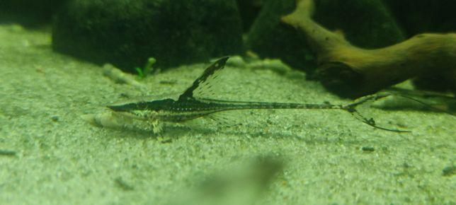 Sturisoma aureum 6-8cm