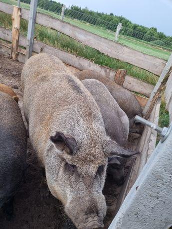 Sprzedam świnie Mangalice