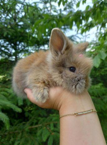 B1 króliczek TEDDY KARZEŁEK miniaturka mini lop miodowy ANGORA wyprawk