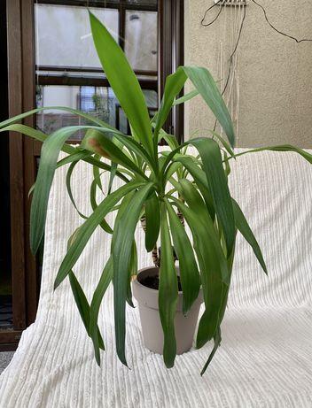 Roślina zielona jukka juka dracena kwiat palma