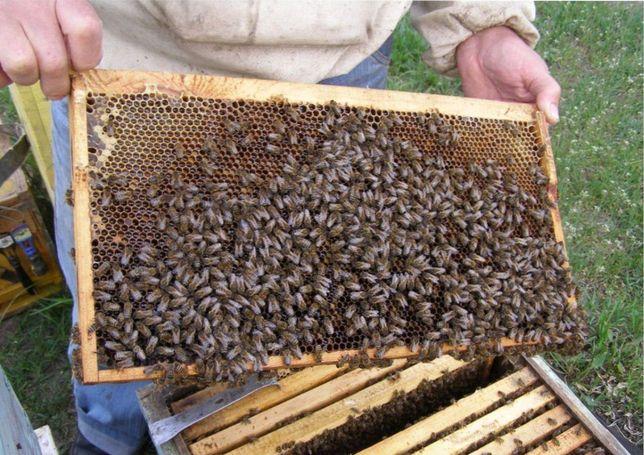 Бджолині матки F-1 Проверенные на засев. «Карпатской породы».