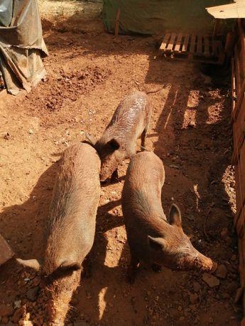 Porcos Javalis jovens