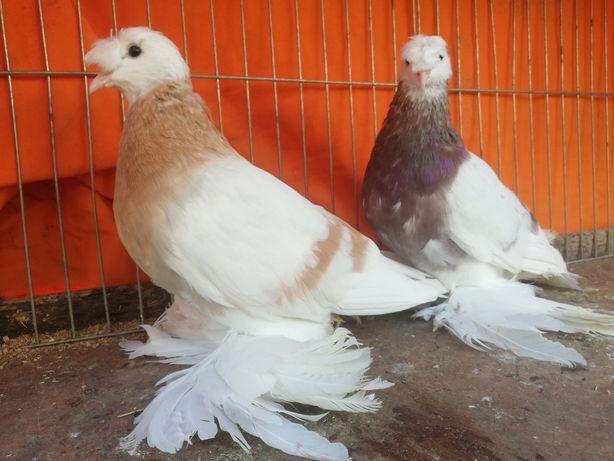 Gołębie Turkot turkoty