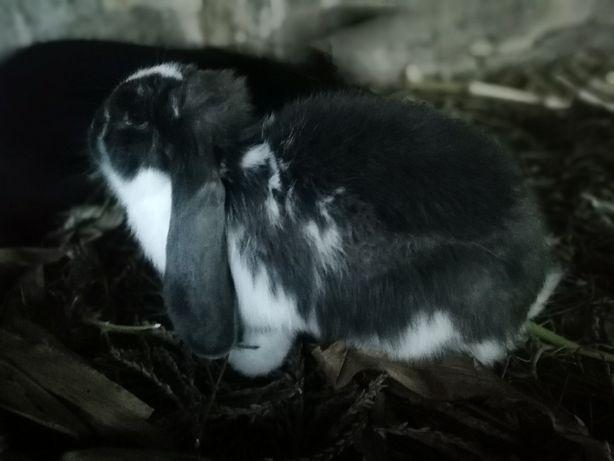 """кролики порід """" Французький баран"""" та """" Білий голандець"""""""